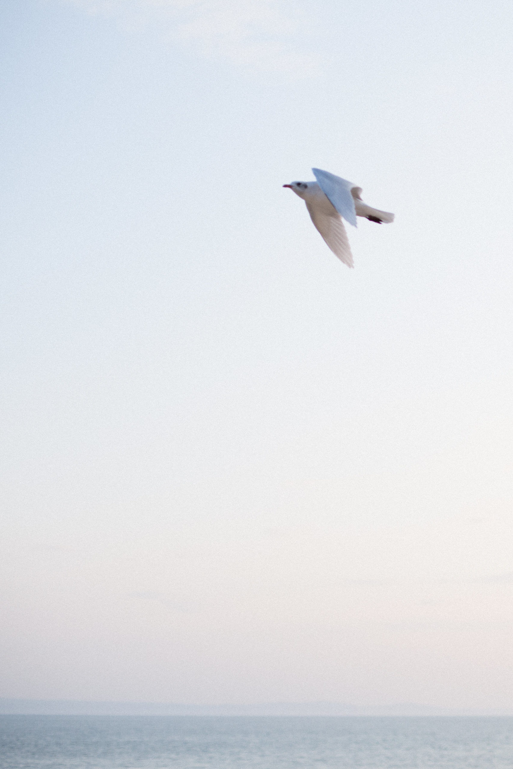 Gull flying at sunset styled stock photography