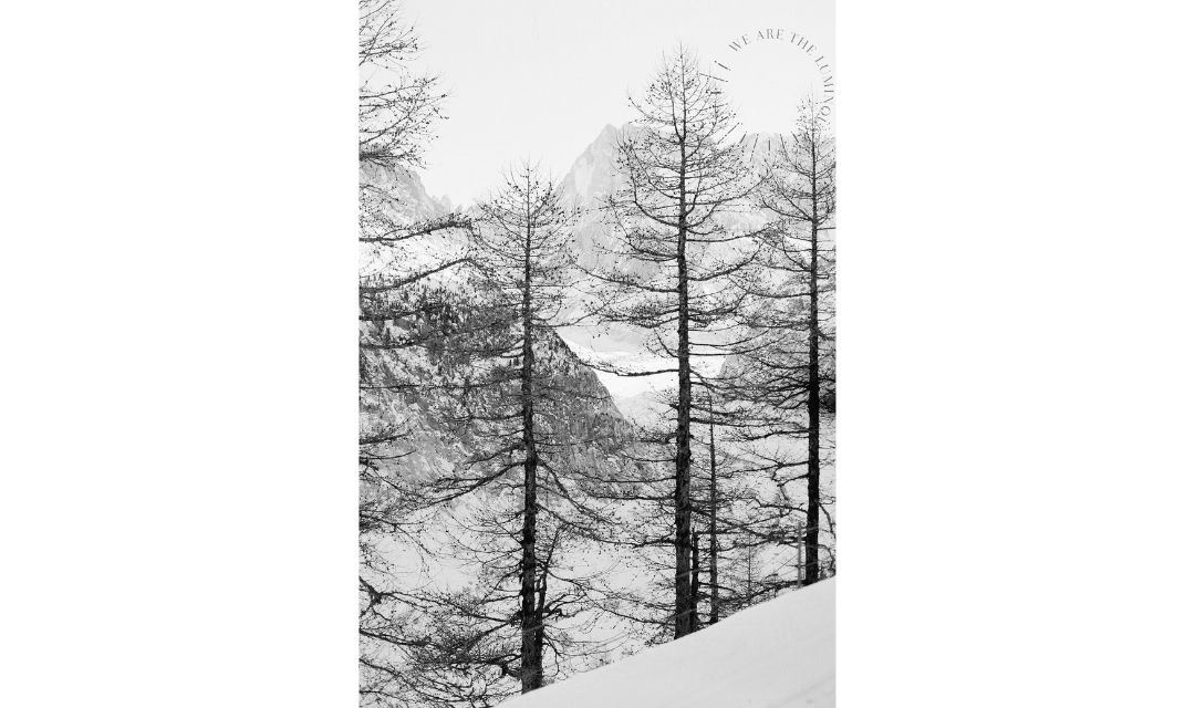 black and white image of pine trees