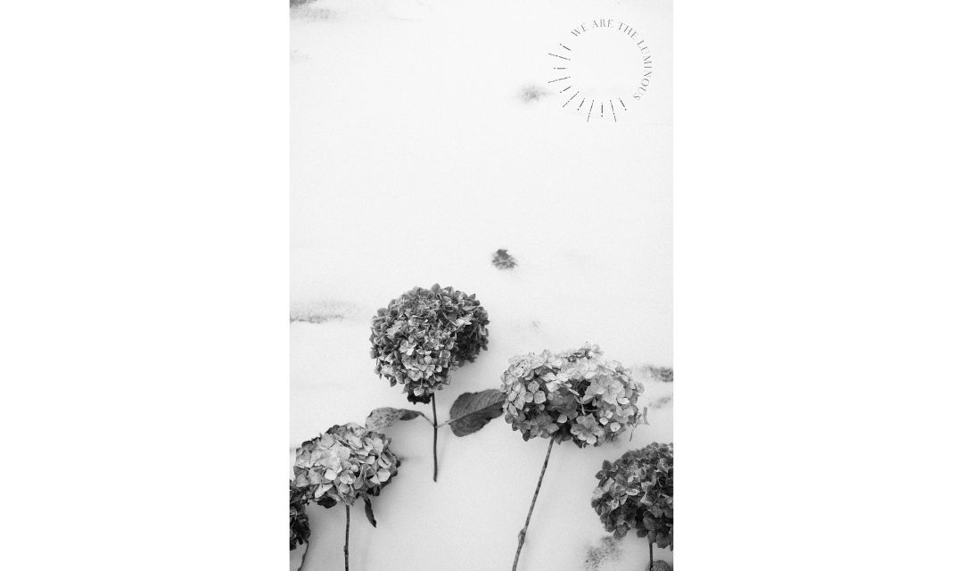 black and white hydrangeas