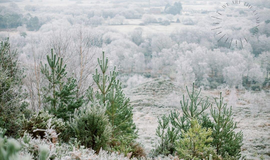 frosty pine trees